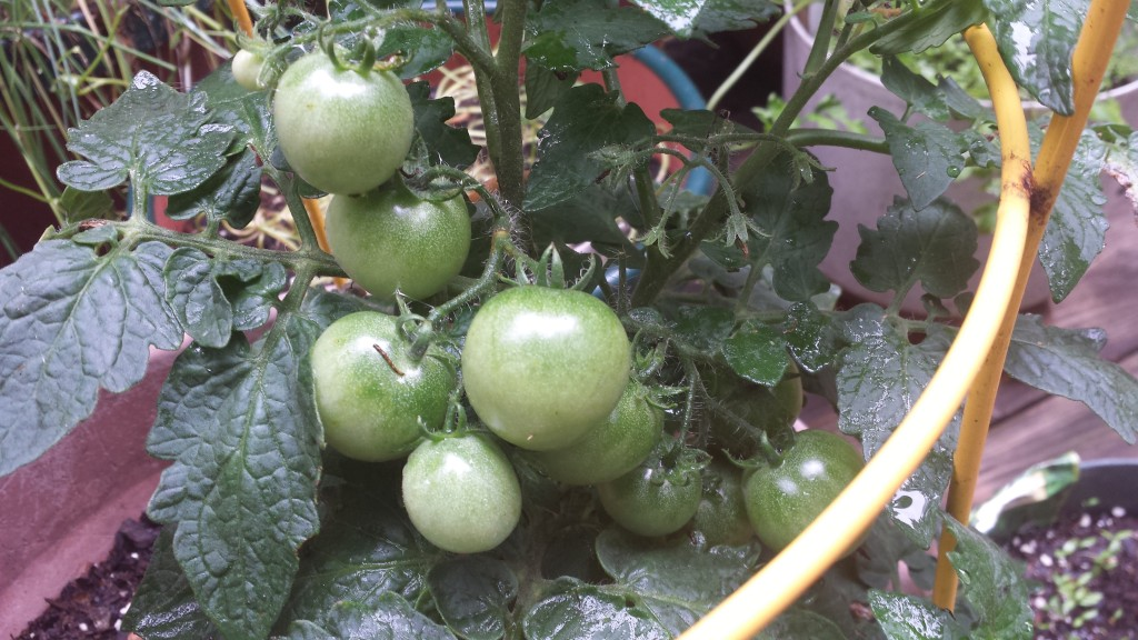 This is the teenager of the tomatoes that I grew last summer