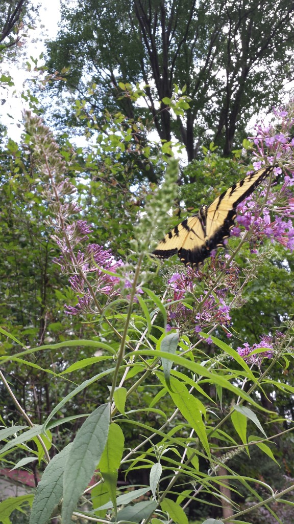 Yellow Swallowtail Butterfly on Butterfly Bush