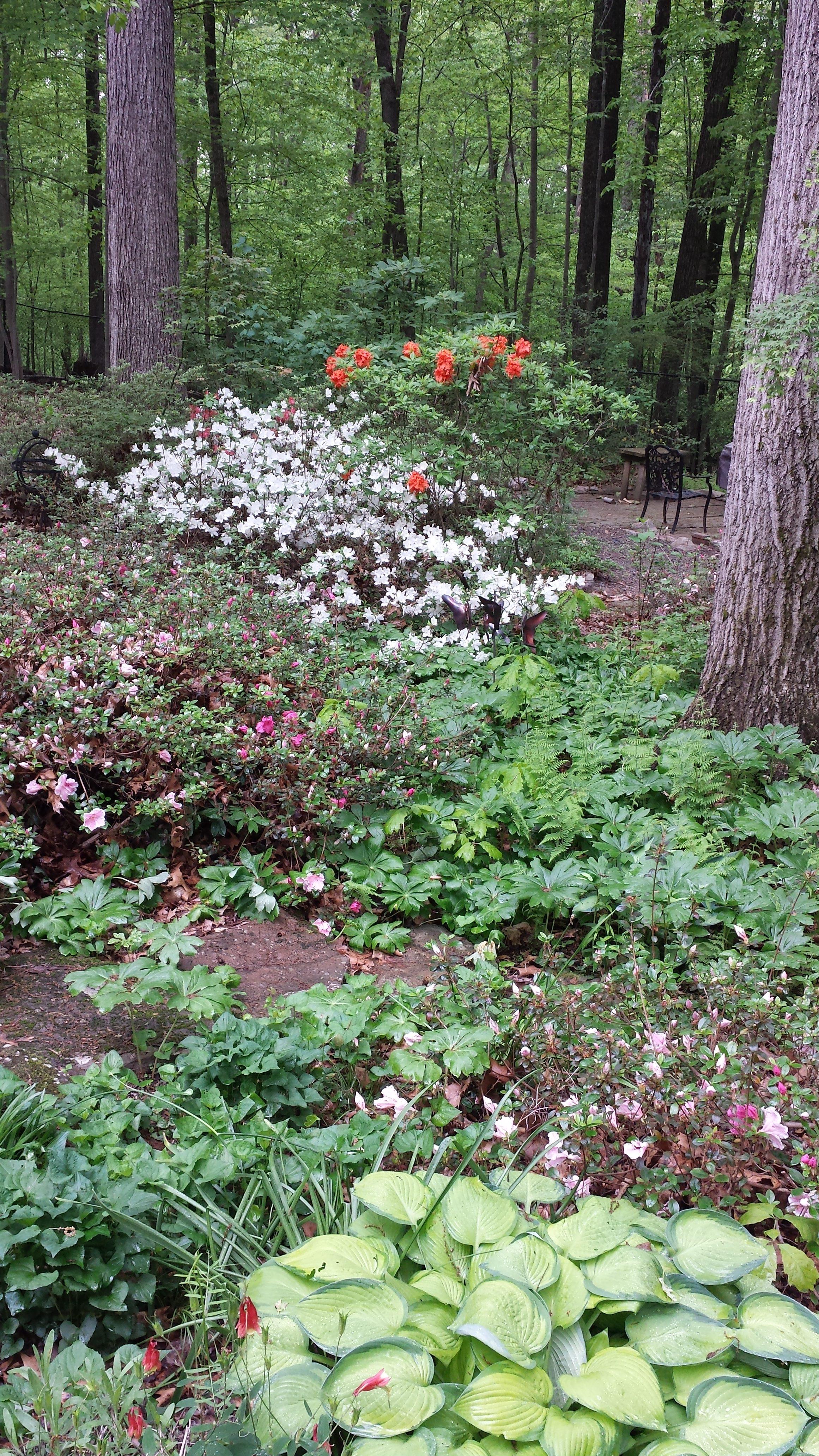 White Azaleas were gorgeous this year