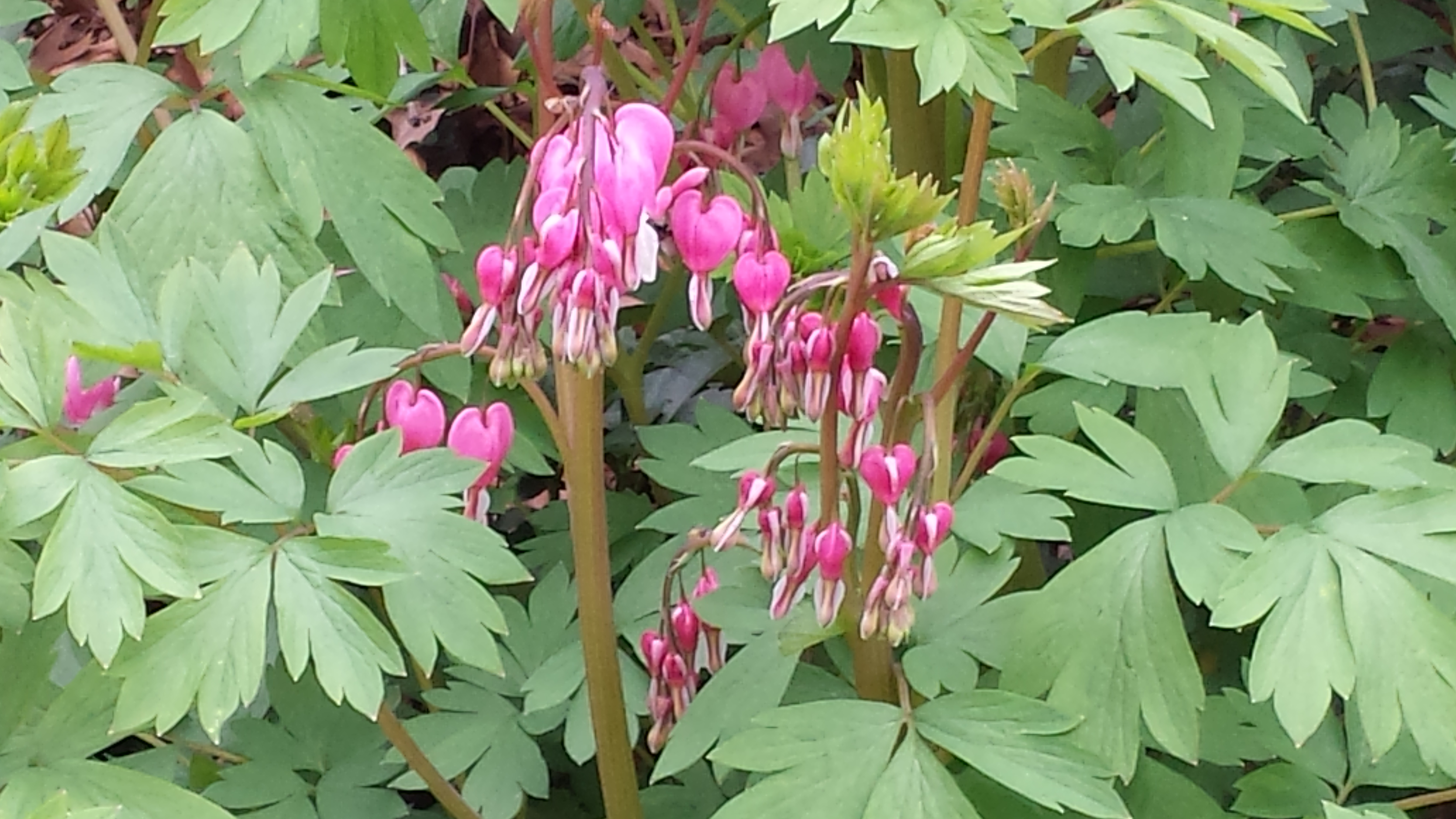 Early bleeding hearts this year