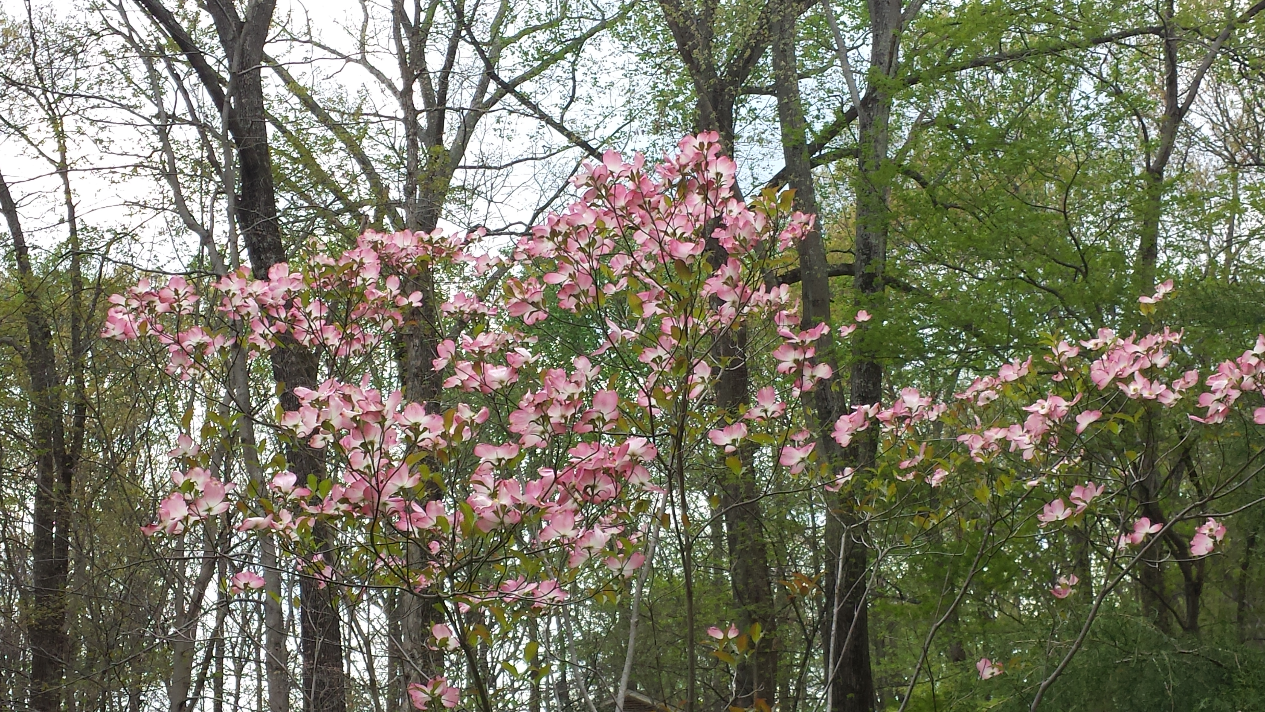 Cherokee Brave Dogwood in its full glory this Spring