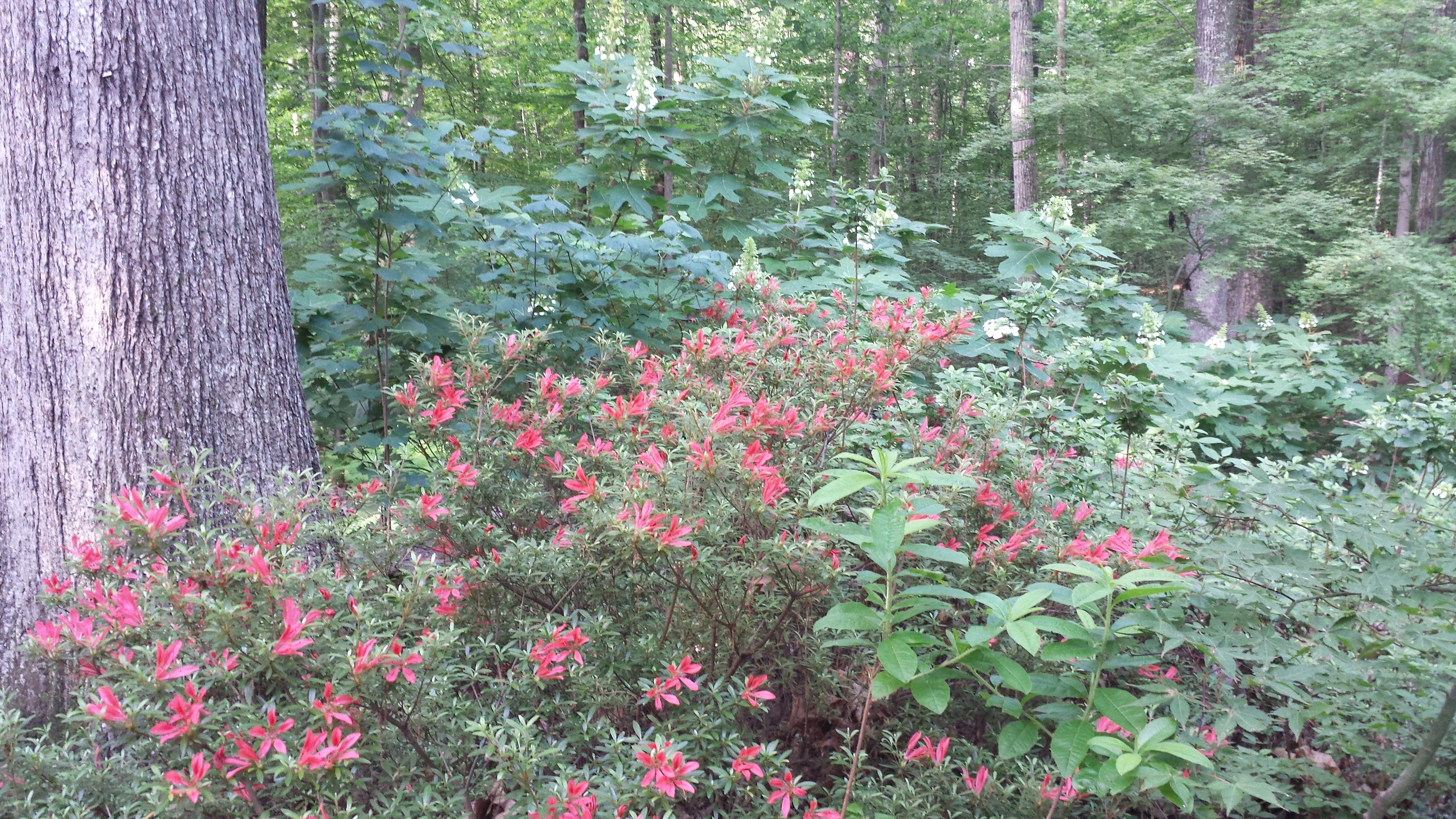 Cinnabar Azalea and Oakleaf Hydrangea