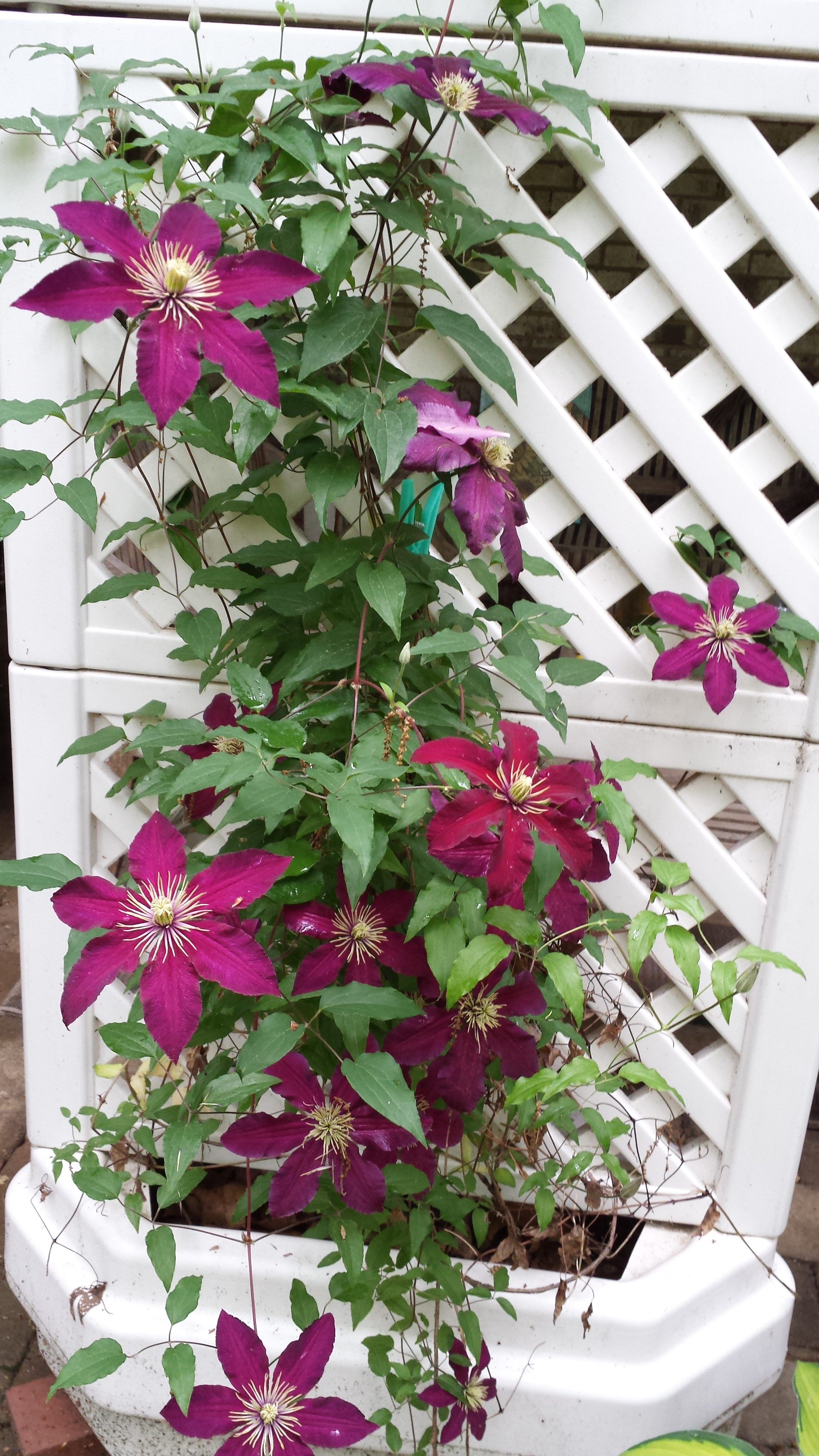 This clematis vine went gangbusters this year!