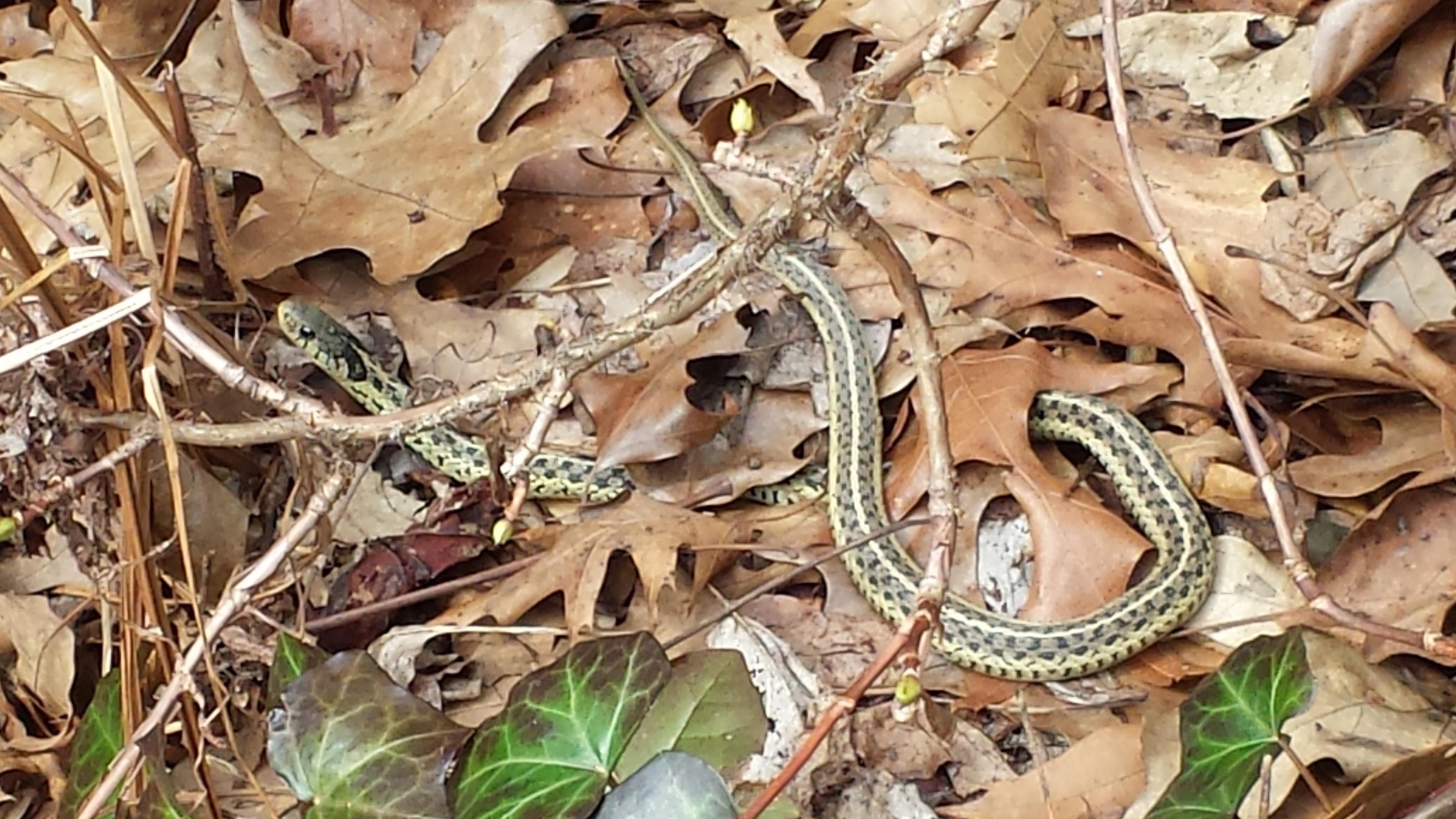 Friendly garter snake in the leaves