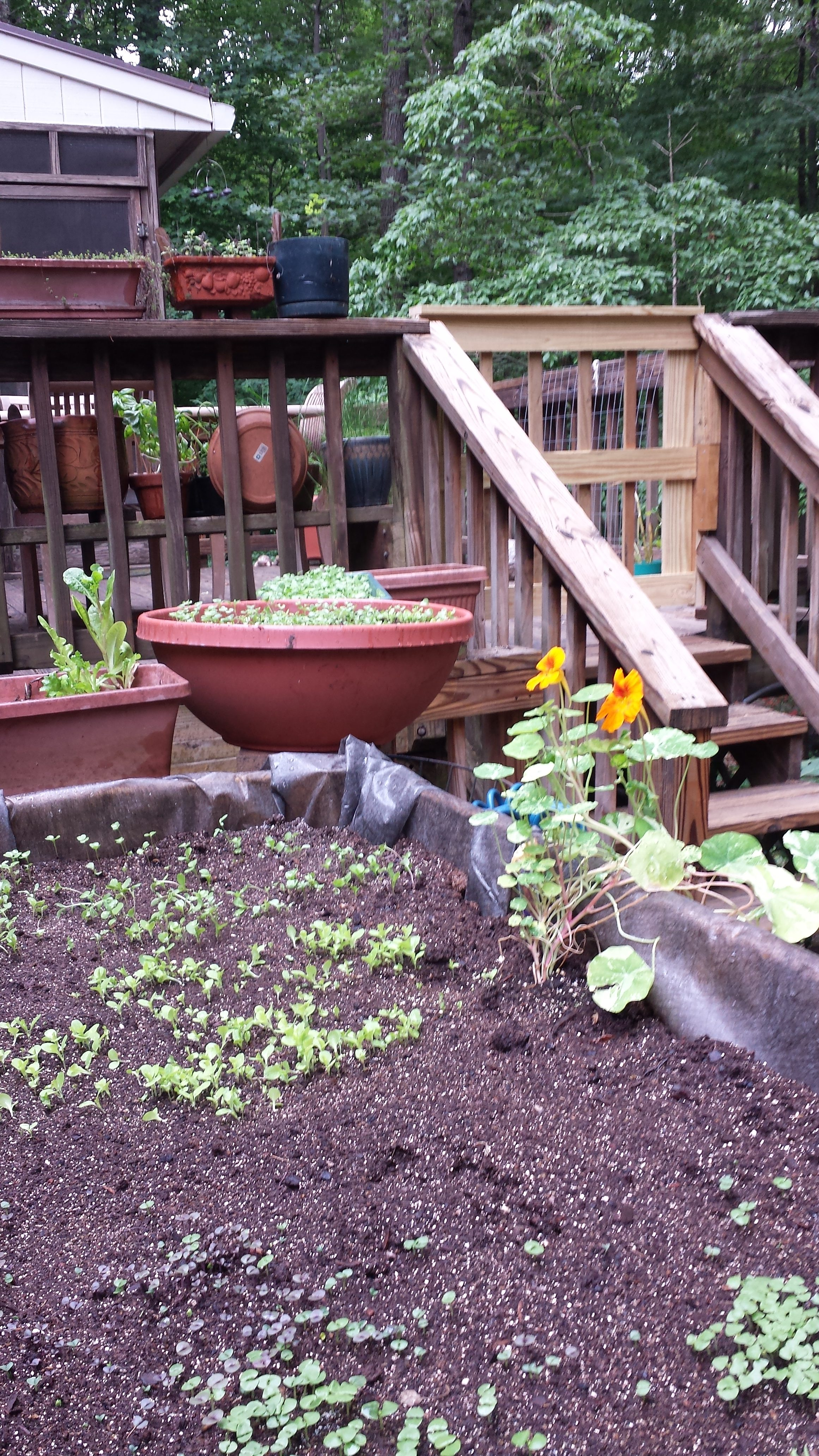 Nasturtium, baby lettuces and baby basil are planted in the potted herb garden and raised planter bed