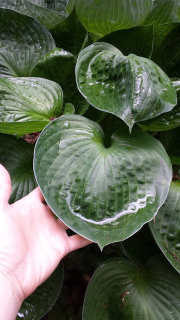 This hosta has huge cupped leaves