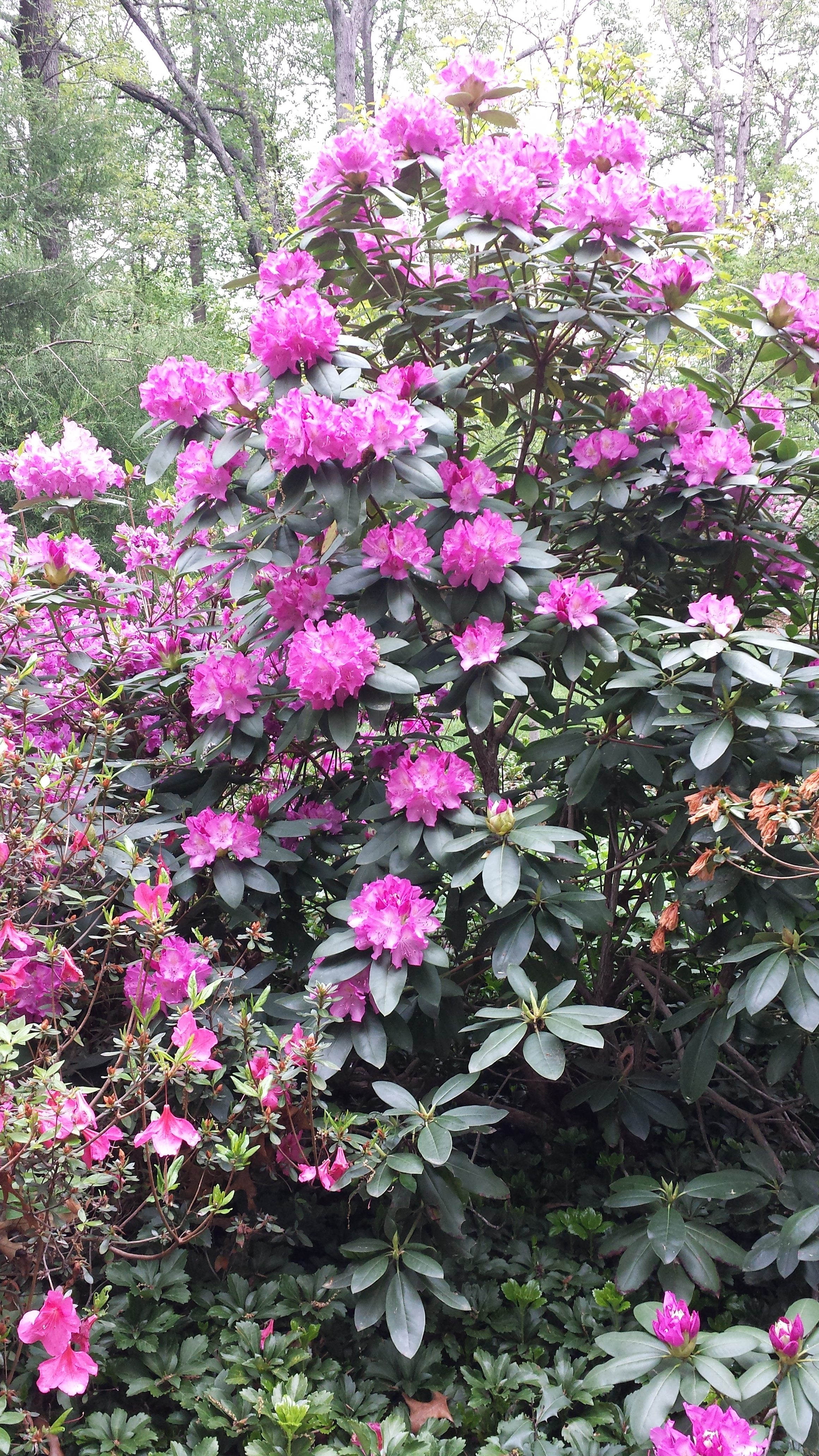 This rhododendron was stricken with borers. I treated it and look how gorgeous it became!