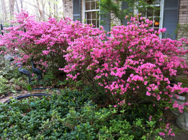 And last year's gorgeous blooms on the pink azaleas
