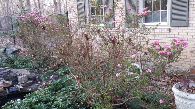 This year's sad display of pink azaleas due to Bambi's nibbles