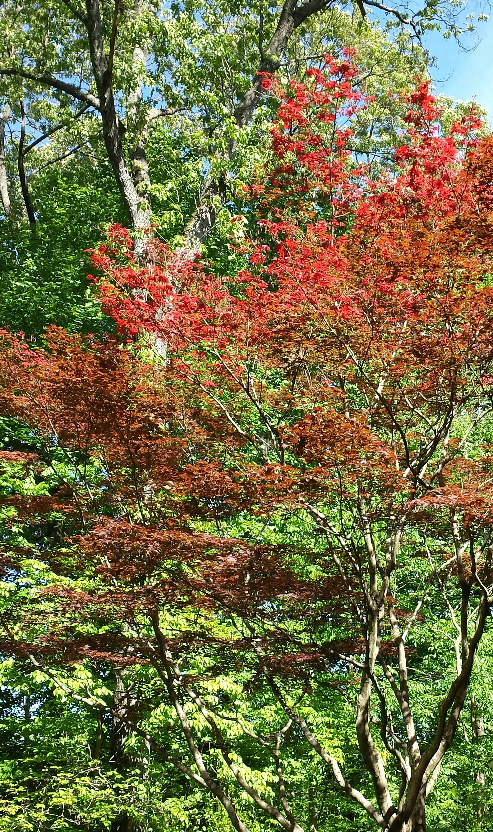 Bright red leaves replace the frost-damaged early leaf buds on my Bloodgood maple