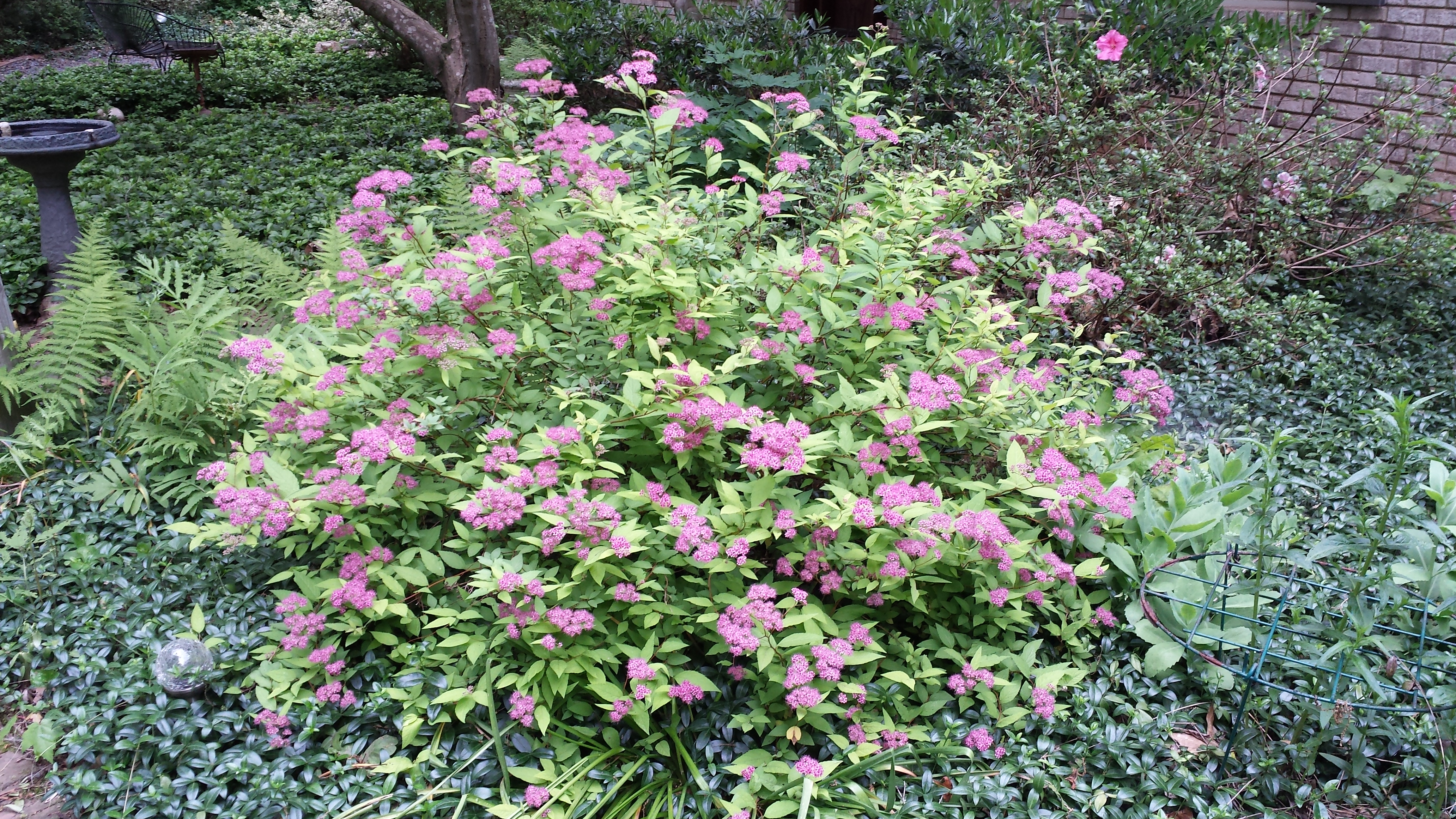 This spirea has chartreuse leaves in the early Spring and then lovely hot pink flowers