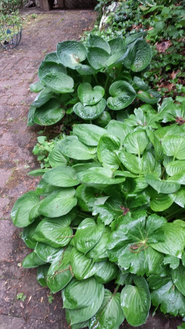 These two hosta plants popped up in my landscape a few years ago