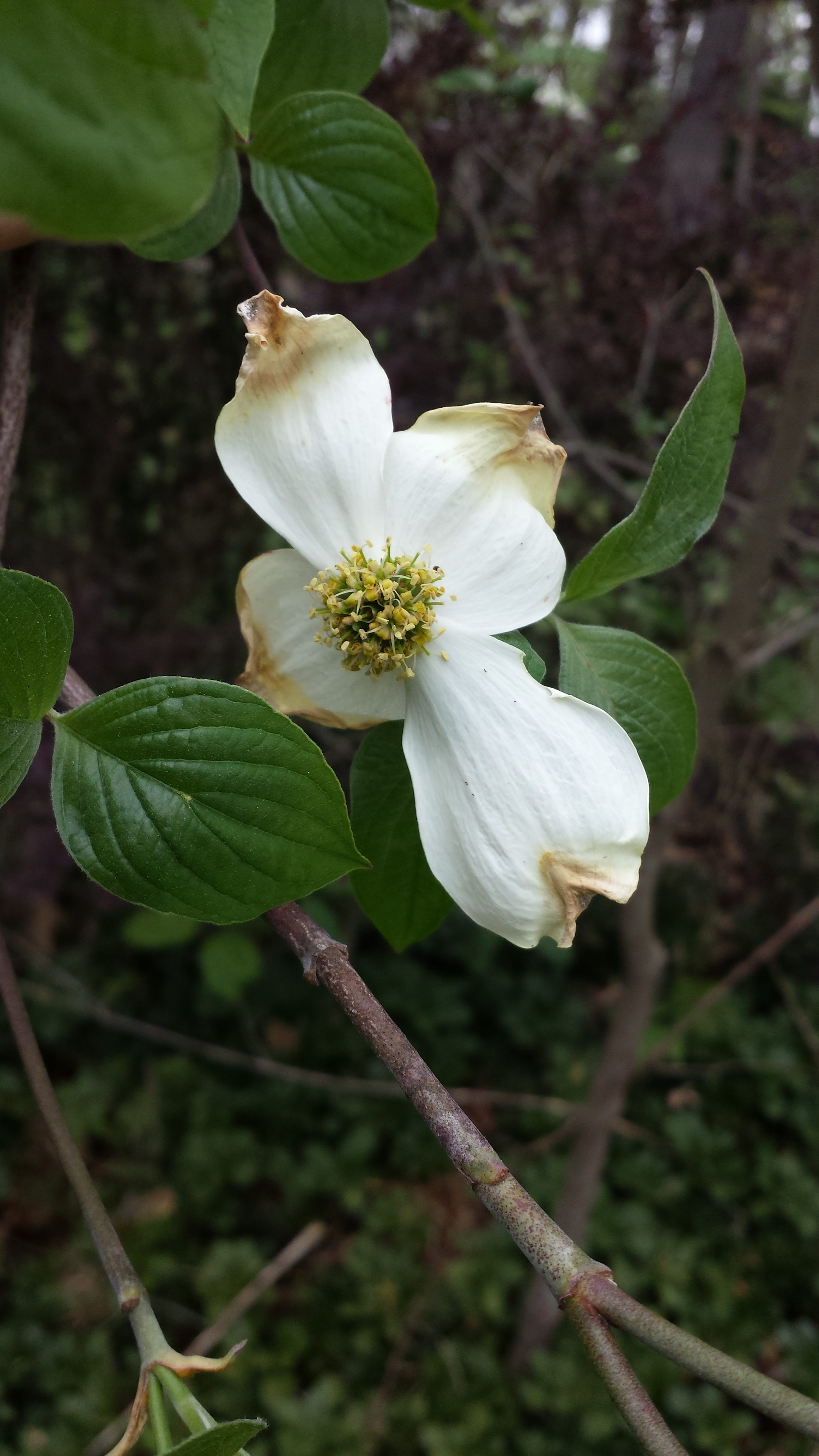 This is the first bloom for a 3-year-old volunteer wild dogwood