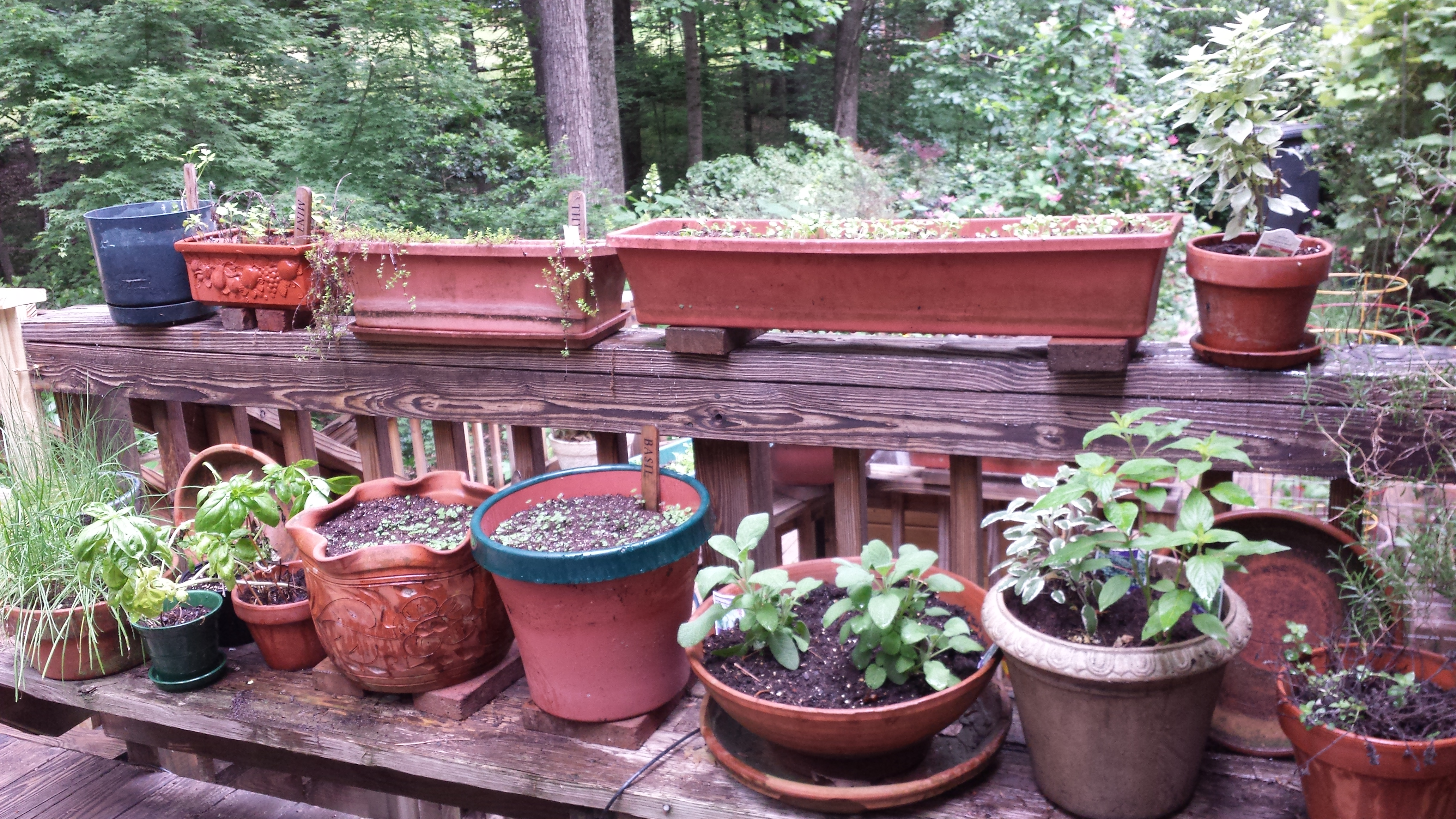 This year's potted herb garden on the upper deck in its infancy