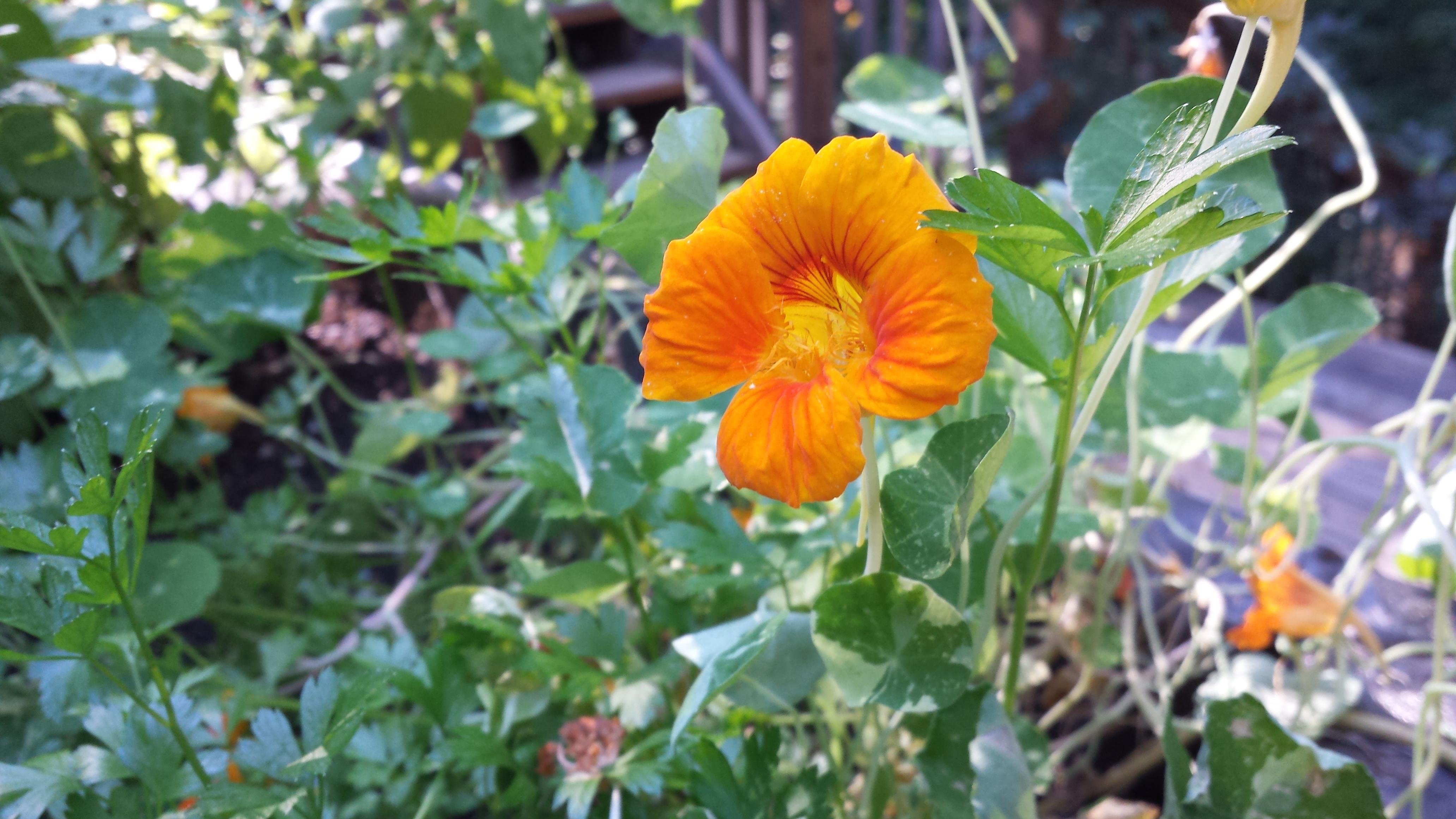 Edible Nasturtium Flower in a pretty orange to brighten up the herb garden