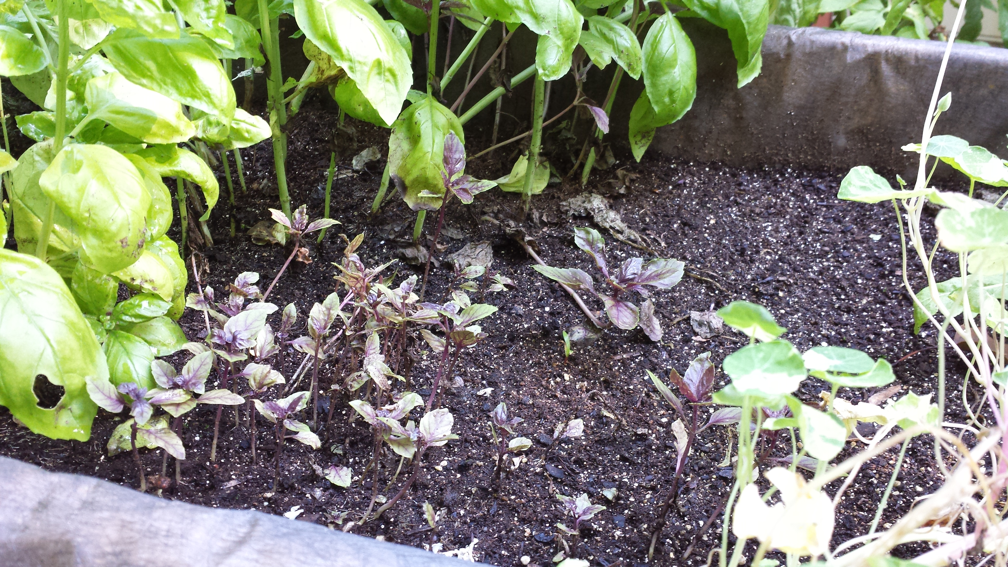 My stunted purple basil next to Genovese basil that is going gangbusters