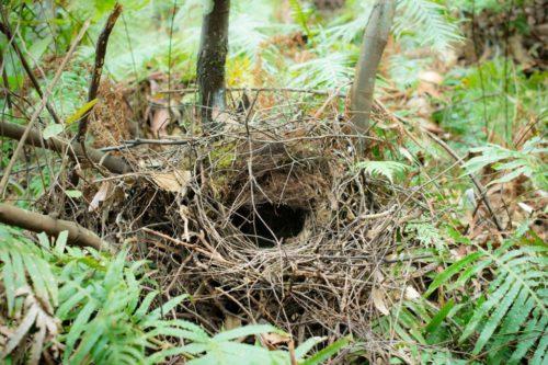Leaf blowing can tear apart bird nests