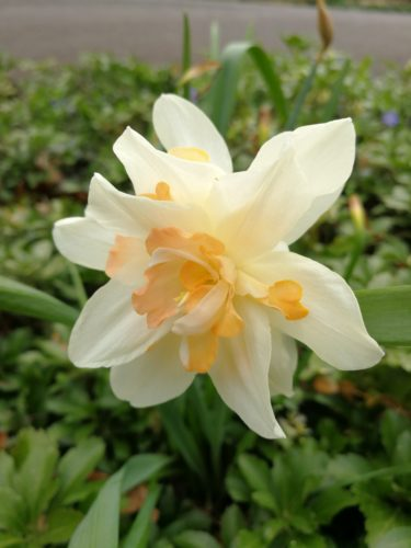 Double peach daffodil