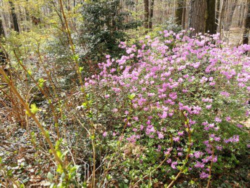 Lavender azalea blooms