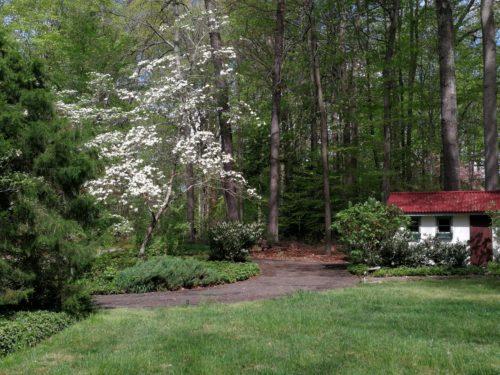 White wild dogwood in full bloom