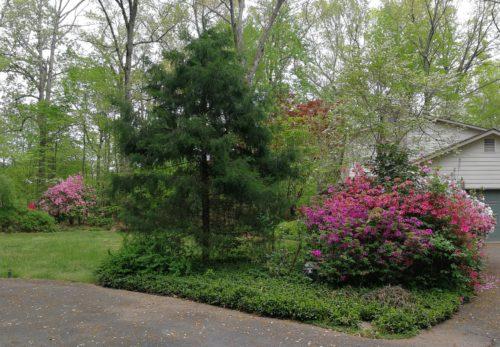 Pink azaleas and rhododendron brighten my yard
