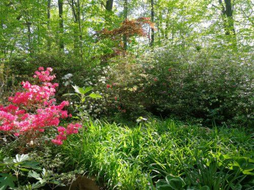Autumn Princess azalea blooms