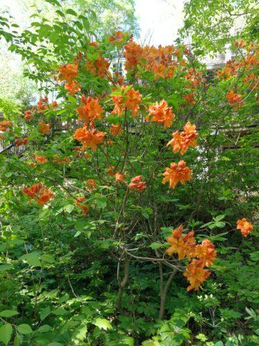 Gorgeous orange Exbury Azalea
