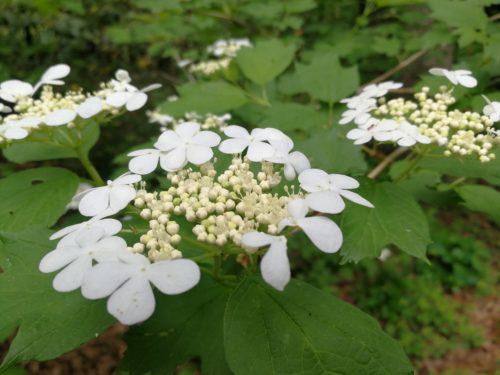 Oakleaf viburnum flower