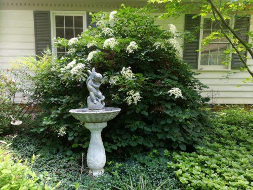 Climbing hydrangea blooms next to a fountain