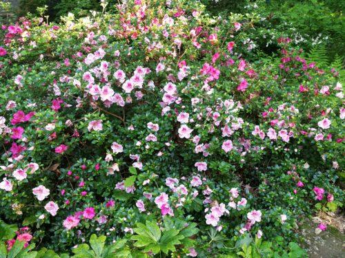 Conversation Piece azalea in bloom