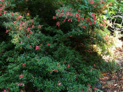 Cinnabar flower on azalea