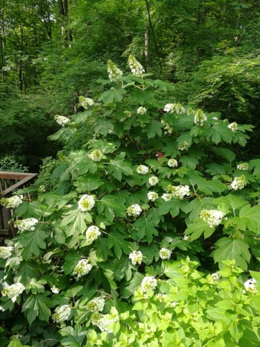 Huge oakleaf hydrangea in full bloom
