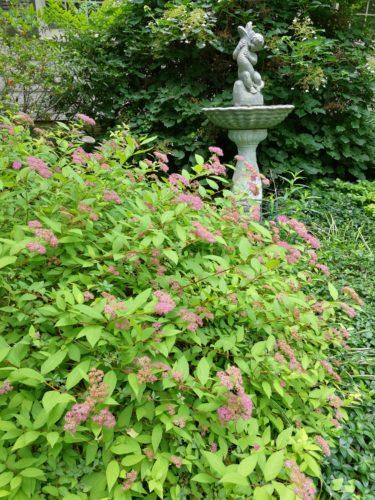 Magenta spirea in bloom