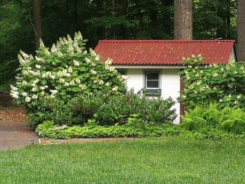 Two oakleaf hydrangeas in bloom