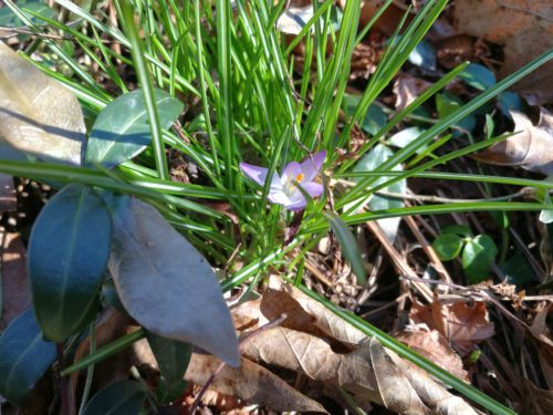 My one crocus flower
