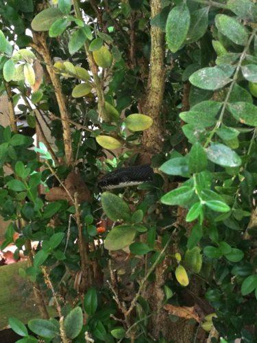 A black rat snake in a boxwood bush