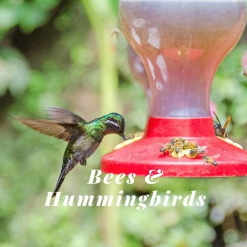 Honey bees and Hummingbird at a feeder