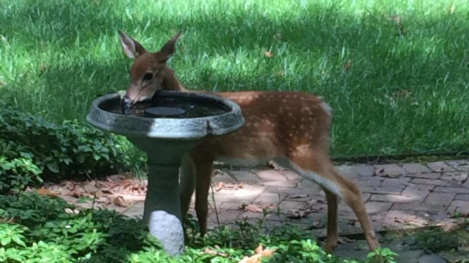 A fawn drinks at a bird bath