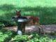 A fawn drinks at a bird bath