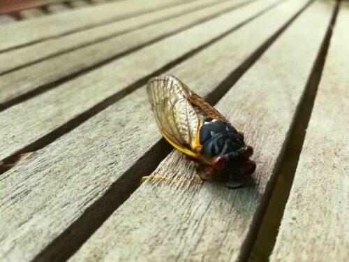 Early emerging Brood X cicada