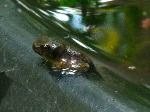 A young frog emerges from the pond