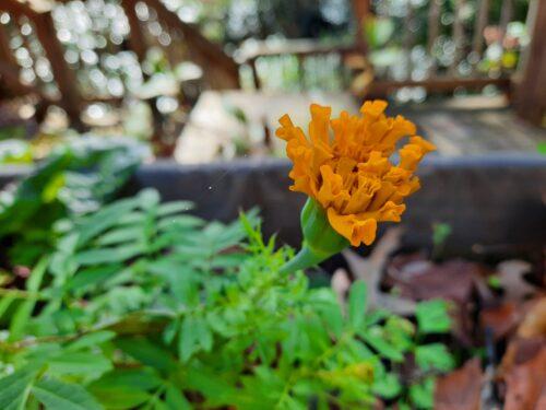 Late marigold flower
