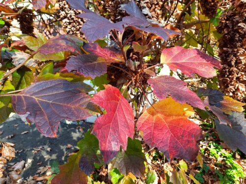 Oakleaf hydrangea colorful leaves