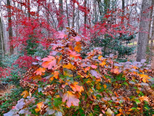 Oakleaf Hydrangeas show off with a bright red Japanese maple tree