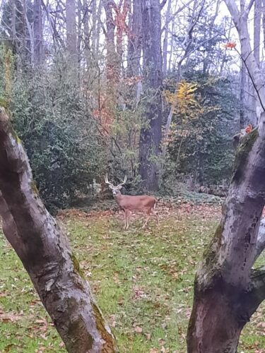 Large stately buck  in 2020