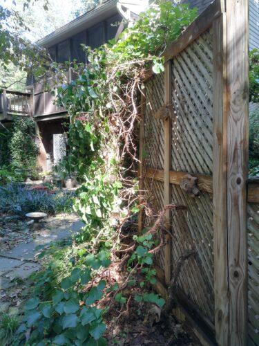 Pruning back climbing hydrangea reveals garden art
